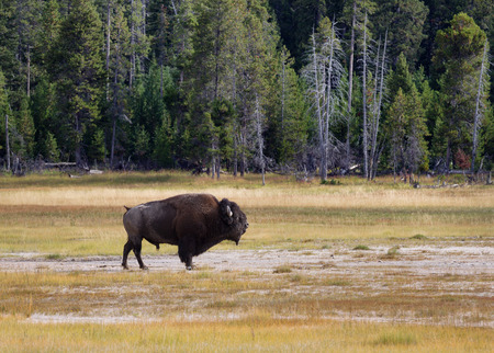 roam: Side view of a single large senior North American Buffalo standing in the Yellowstone Park prairie