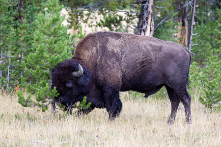 roam: Closeup horizontal view of a healthy large North American Bison (Buffalo) rubbing their head against pine tree Stock Photo