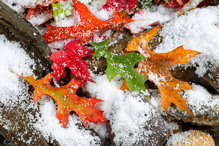 vintage background: Bright autumn leaves covered with snow on aged driftwood and rocks