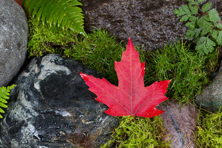 red maple leaf: Close up of a fallen single dark red maple leaf on wet rocks and moss