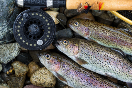 Close up overhead view of three wild trout with fishing fly reel, landing net and assorted flies on wet river bed stones