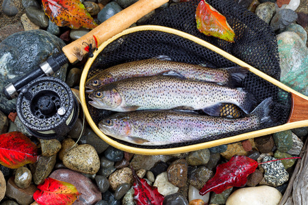 Top view of native wild trout, inside of landing net, with fishing fly reel, pole and late autumn leaves on wet river bed stones