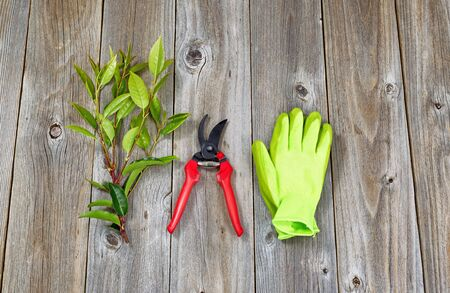Top view angled shot of pruning shears work gloves and a freshly cut branch on rustic wood.