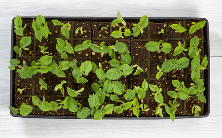 green bean: High angled view of green bean starter plants in small trays on rustic white wood. Ready to plant into outdoor garden.