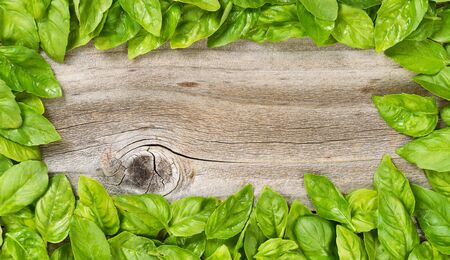 basil: High angled view of freshly picked large basil leafs forming border on rustic wood.