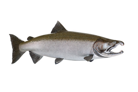 Large pristine salmon isolated on white background.