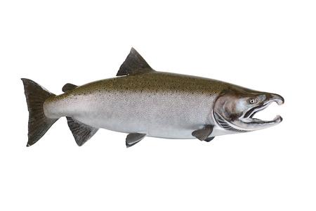 wild mint: Large pristine salmon isolated on white background.
