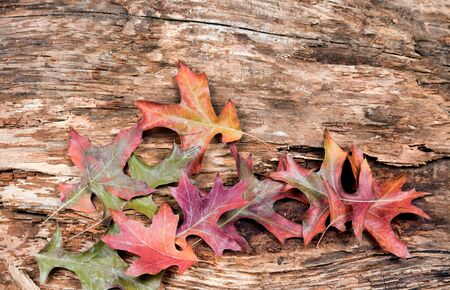 dry leaves: Dry weathered tree with fading autumn leaves. Horizontal layout. Stock Photo