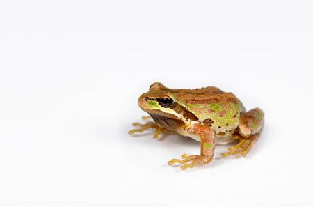 selective focus: Close up of frog, spring peeper, on white surface. Selective focus on eye and nose. Stock Photo