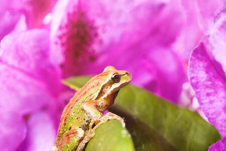 Close up of frog, spring peeper, on wild flowers during bright morning light. Light effect applied to image. Selective focus on eye.