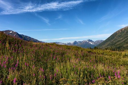 forefront: Fire weed, wild flowers, in field with mountains and sky in background. Selective focus in forefront. Stock Photo