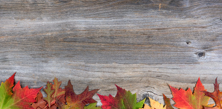 Vibrant autumn maple and oak leaves on rustic wood showing all their fall colors