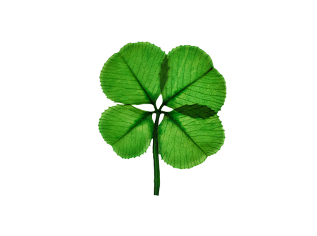 Real four leaf clover isolated on white background