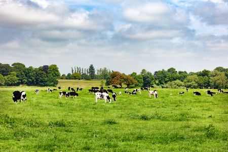 Dairy cows grazing in large farm pasture