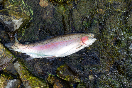 Rainbow trout landed in shallow part of river bed with sunshine reflection