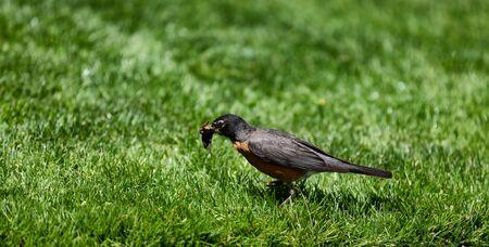 Robin bird gathering worms for feeding offspring 스톡 콘텐츠