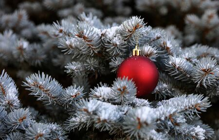 Real Blue spruce Christmas tree with red ornament and snow for the holiday season