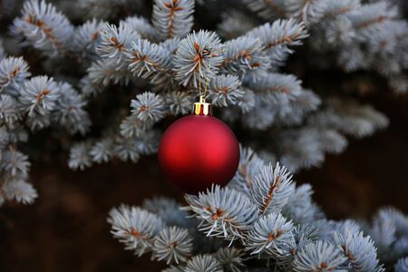 Real Blue spruce Christmas tree with red ornament for the holiday season 版權商用圖片