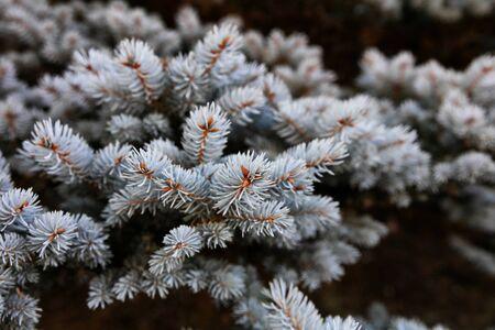 Real Blue spruce Christmas tree for the holiday season 版權商用圖片