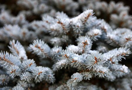 Real Blue spruce Christmas tree with snow for the holiday season