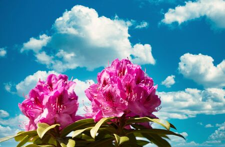 Washington State Native rhododendron flowers blooming during springtime 版權商用圖片