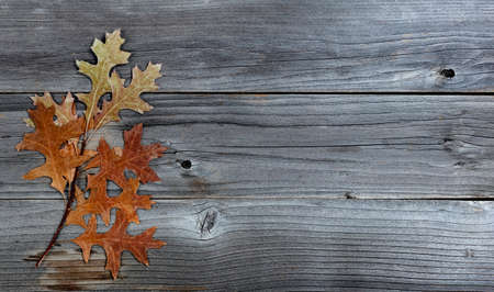 Seasonal autumn branch with oak leaves on weathered wood
