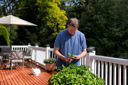 Mature man inspecting fresh organic basil plants on outdoor home deck