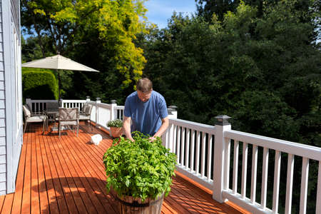 Mature man pruning fresh organic basil plants in wooden barrel on outdoor home deck