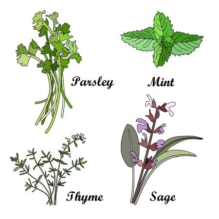 Herbs set, vector illustration