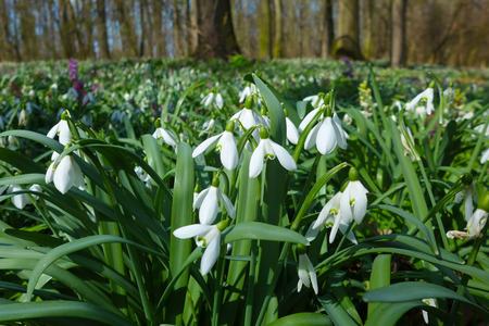 Spring wild snowdrop flowers Galanthus nivalis blooming in the forest near Dobrin in a sunny day, Czech Republic. Banco de Imagens