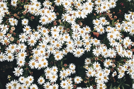 Closeup of white daisy-like flowers of fall heartleaf aster, Aster cordifolius in the garden. Autumn plant, floral background. Vintage toned photography.