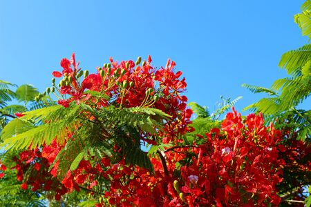 Blooming flame tree, royal poinciana Delonix regia in resort garden. Tropical decorative endemic tree species from Madagascar island. Red blossoms, petals and green leaves and blue sky, selective focus. Stock fotó