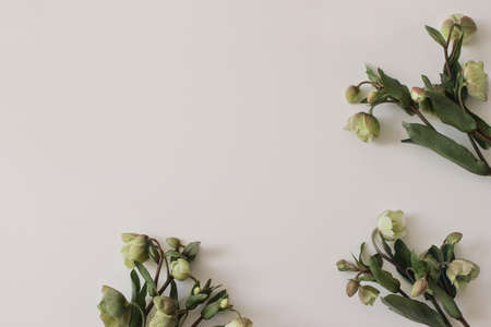 Spring styled photo. Floral frame, banner. Green hellebores flowers on neutral beige champagne table background. Empty copy space. Flat lay, top view. Natural minimal composition.