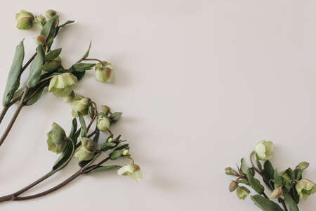 Spring floral frame, banner. Green hellebores flowers on neutral beige champagne table background. Empty copy space. Flat lay, top view. Natural minimal composition. Feminine styled photo. Stock Photo