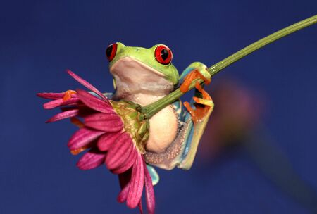agalychnis: one of the most beautiful creatures on planet earth:the red eyed tree frog (agalychnis callidryas) Stock Photo
