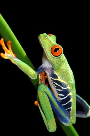 callidryas: one of the most beautiful creatures on planet earth:the red eyed tree frog (agalychnis callidryas) Stock Photo