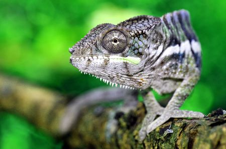 africa chameleon: portrait of a male panther chameleon (furcifer pardalis) from africa Stock Photo