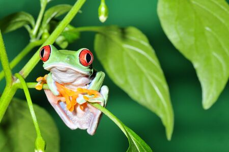 one eyed: one of the most beautiful creatures on planet earth:the red eyed tree frog (agalychnis callidryas)  Stock Photo