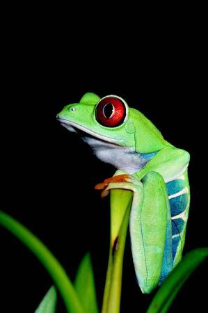 one eyed: one of the most beautiful creatures on planet earth the red eyed tree frog  agalychnis callidryas  Stock Photo