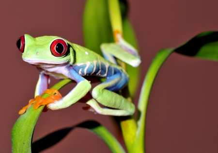eyed: one of the most beautiful creatures on planet earth the red eyed tree frog  agalychnis callidryas  Stock Photo