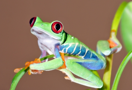 species: one of the most beautiful creatures on planet earth the red eyed tree frog  agalychnis callidryas   Stock Photo