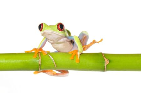 rica: one of the most beautiful creatures on planet earth the red eyed tree frog  agalychnis callidryas   Stock Photo