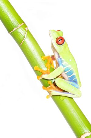 callidryas: one of the most beautiful creatures on planet earth the red eyed tree frog  agalychnis callidryas   Stock Photo
