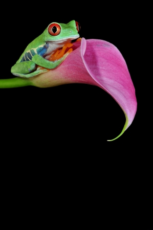 most: one of the most beautiful creatures on planet earth the red eyed tree frog  agalychnis callidryas   Stock Photo
