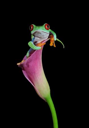 flores exoticas: una de las criaturas más hermosas en el planeta tierra el árbol de ojos rojos rana Agalychnis callidryas Foto de archivo
