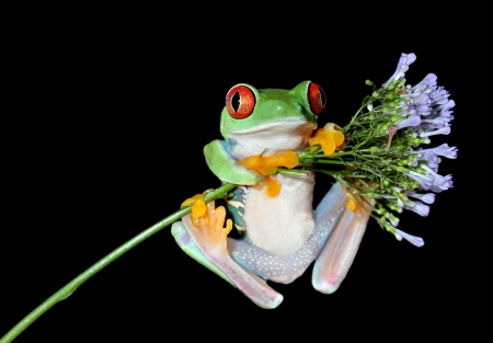 rain forest animal: one of the most beautiful creatures on planet earth the red eyed tree frog  agalychnis callidryas   Stock Photo