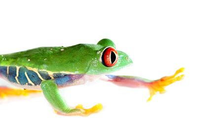 agalychnis: one of the most beautiful creatures on planet earth the red eyed tree frog  agalychnis callidryas   Stock Photo
