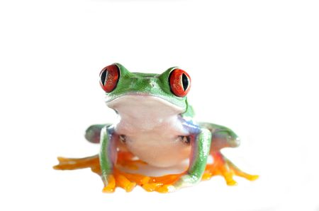 tree frog: one of the most beautiful creatures on planet earth the red eyed tree frog  agalychnis callidryas   Stock Photo