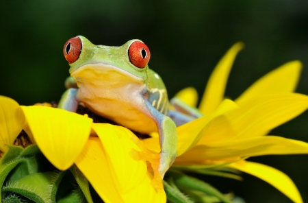 red eyed tree frog: one of the most beautiful creatures on planet earth the red eyed tree frog  agalychnis callidryas   Stock Photo