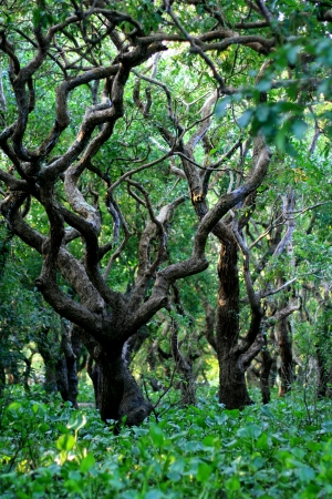 amazonas: Flooded forest of mangrove trees at Kompong Phluk, near Siem Reap, Cambodia